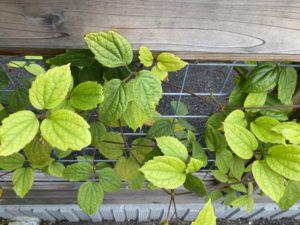 観賞性の高い常緑の葉